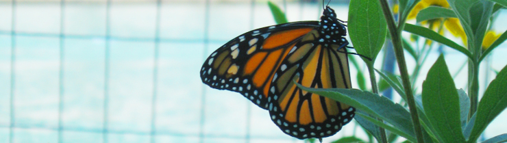 "A monarch butterfly at the Chicago River ""Fish Hotel,"" a WRD Environmental project"