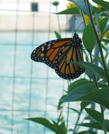"A monarch butterfly resting at the Michigan Avenue ""Fish Hotel"""
